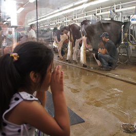 Photo of little girl looking through the milking parlor observation window