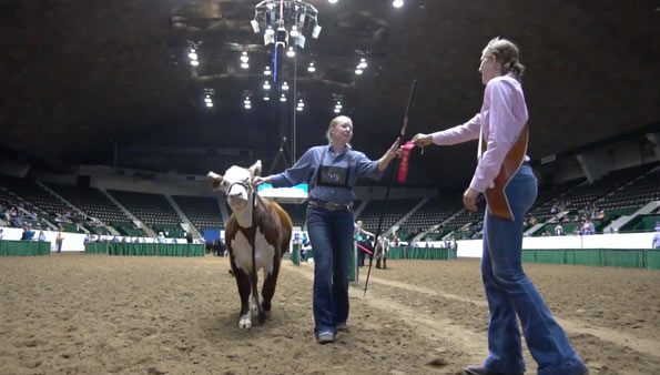 Red ribbon winning hereford in the ring